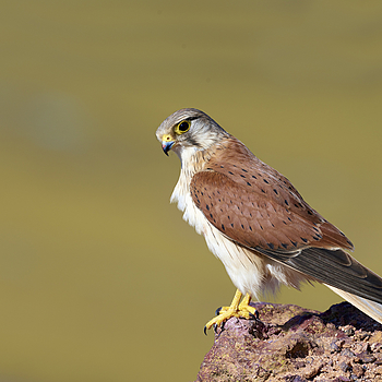 Nankeen Kestrel | NIKON 400 F2.8E FL VR  <br> Click image for more details, Click <b>X</b> on top right of image to close