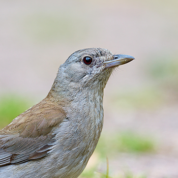 Grey Shrike Thrush | NIKON 400 F2.8E FL VR  <br> Click image for more details, Click <b>X</b> on top right of image to close