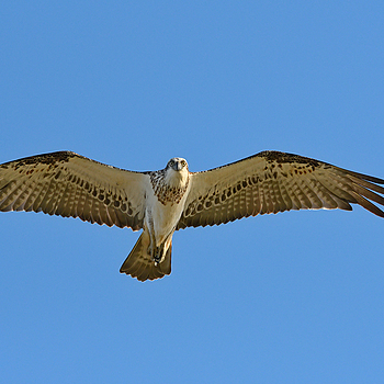 Osprey | NIKON 400 F2.8E FL VR  <br> Click image for more details, Click <b>X</b> on top right of image to close