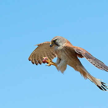 Nankeen Kestrel mid air catch | NIKON AF-S FX 105MM F/1.4 ED <br> Click image for more details, Click <b>X</b> on top right of image to close