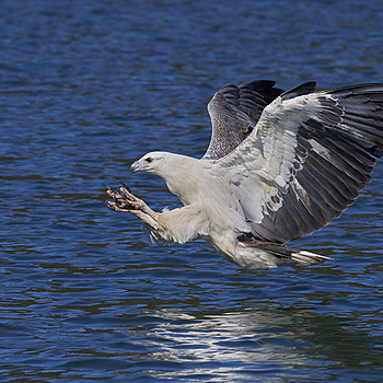 White Bellied Sea Eagle | NIKON AF-S 80-400MM VRII