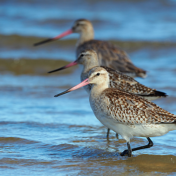 Bar-tailed Godwits all in a row. |  NIKON 200-500 F5.6E ED VR