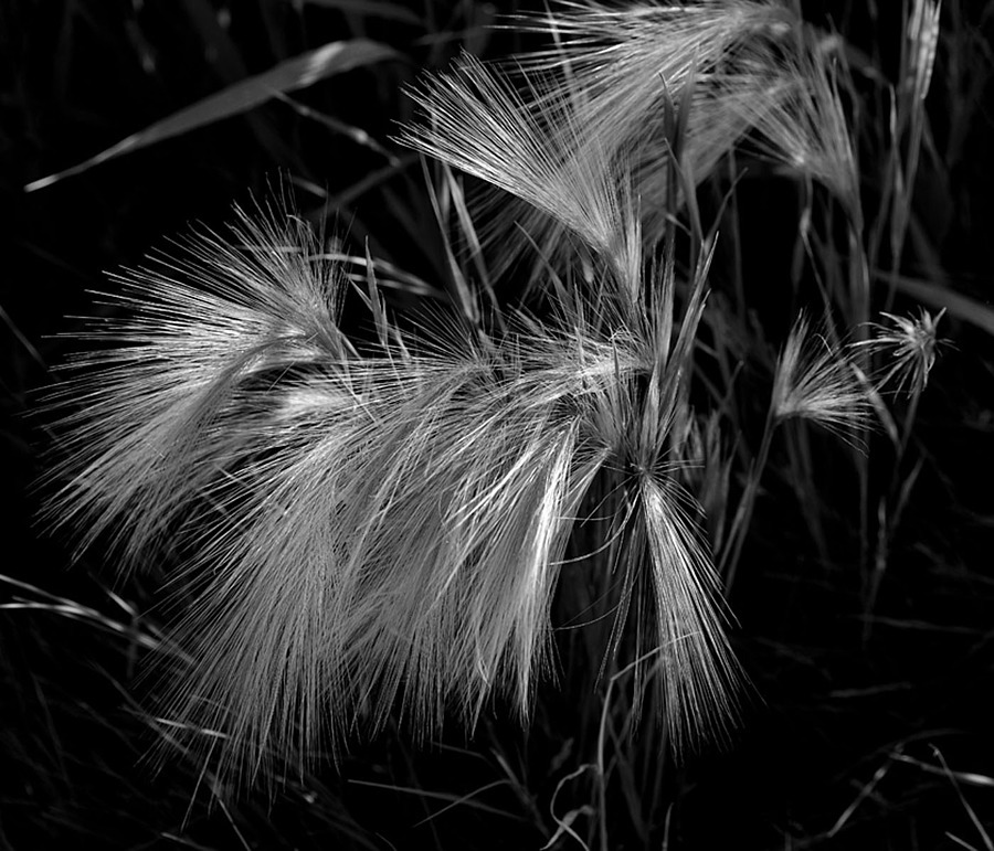 Wild grass | VIVITAR SERIES 1 90MM 1:25 MACRO <br> Click image for more details, Click <b>X</b> on top right of image to close