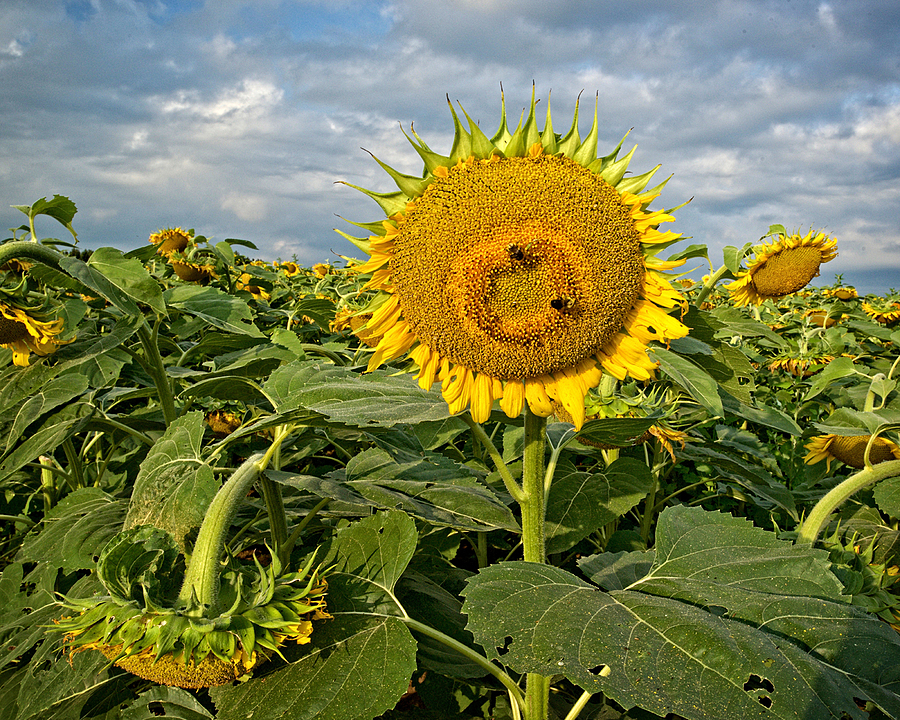 Sun Flowers and Angry Skies | NIKON 18-35MM 3.5-4.5G <br> Click image for more details, Click <b>X</b> on top right of image to close