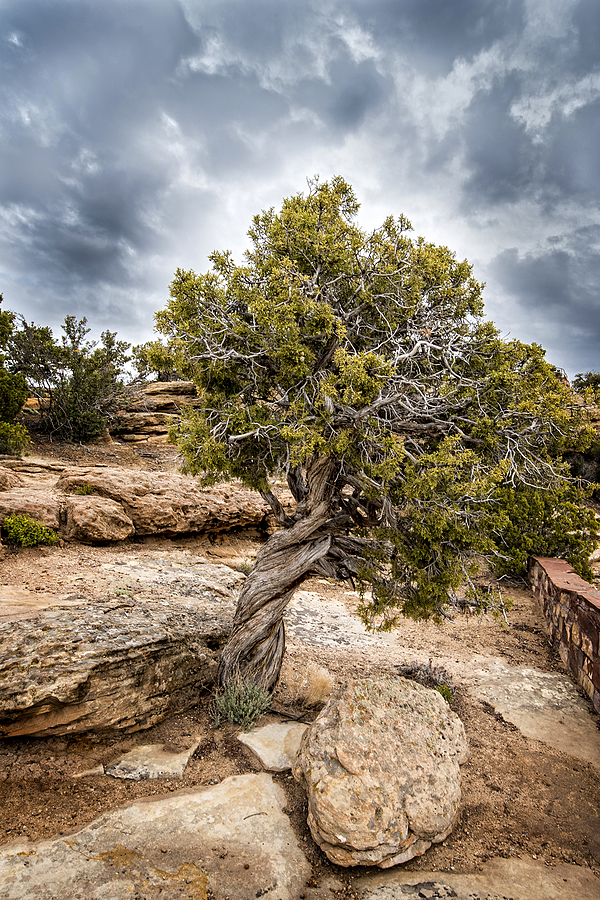 Corkscrew Cedar | NIKON 18-35MM 3.5-4.5G <br> Click image for more details, Click <b>X</b> on top right of image to close