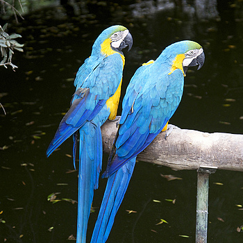 Pair of Blue Macaws | NIKON 24-85MM F/3.5-4.5G ED-IF AF-S <br> Click image for more details, Click <b>X</b> on top right of image to close