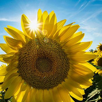 Sunburst Sunflower2 | NIKON 18-35MM 3.5-4.5G <br> Click image for more details, Click <b>X</b> on top right of image to close