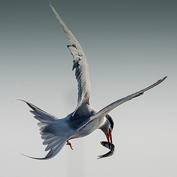 Lucky Tern | LENS MODEL NOT SET <br> Click image for more details, Click <b>X</b> on top right of image to close