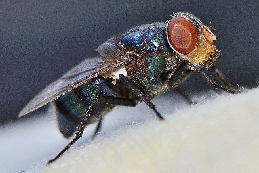 nikonimages.com gallery | house fly | Nikon 105mm F2.5 | NIKON D 7000