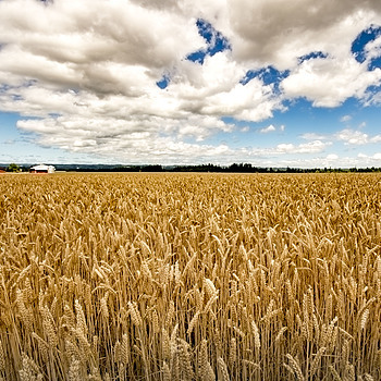 Washington County wheat | AF-S NIKKOR 16-35MM F/4G ED VR <br> Click image for more details, Click <b>X</b> on top right of image to close