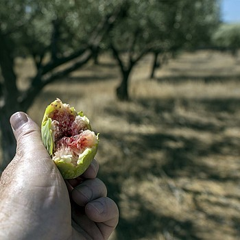 Wild fig and olive trees, Kalamata | AF-S NIKKOR 24MM F/1.4G ED