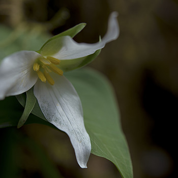 Trillium  | AF-S MICRO NIKKOR 60MM F/2.8G ED <br> Click image for more details, Click <b>X</b> on top right of image to close