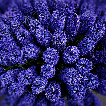 Dutch Hyacinths | NIKON 24-120MM F/3.5-5.6G AF-S VR <br> Click image for more details, Click <b>X</b> on top right of image to close
