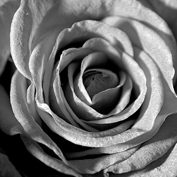 Rose in B&W | SIGMA 150MM F/2.8 EX DG APO HSM MACRO <br> Click image for more details, Click <b>X</b> on top right of image to close