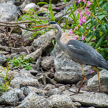 Heron | NIKON 70-300MM F/4.5-5.6G IF-ED AF-S VR <br> Click image for more details, Click <b>X</b> on top right of image to close