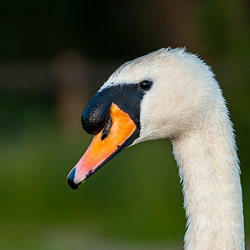 Swan | NIKON 70-300MM F/4.5-5.6G IF-ED AF-S VR <br> Click image for more details, Click <b>X</b> on top right of image to close