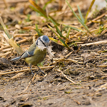 Blue Tit (Sikorka Modra) | NIKON 70-300MM F/4.5-5.6G IF-ED AF-S VR <br> Click image for more details, Click <b>X</b> on top right of image to close