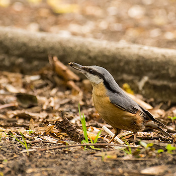 Nuthatch (Kowalik) | NIKON 70-300MM F/4.5-5.6G IF-ED AF-S VR <br> Click image for more details, Click <b>X</b> on top right of image to close