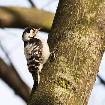 Lesser Spotted Woodpecker (Dzięciołek) | NIKON 70-300MM F/4.5-5.6G IF-ED AF-S VR <br> Click image for more details, Click <b>X</b> on top right of image to close