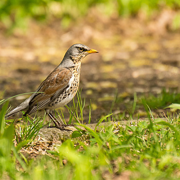Fieldfare (Kwiczoł) | NIKON 70-300MM F/4.5-5.6G IF-ED AF-S VR <br> Click image for more details, Click <b>X</b> on top right of image to close