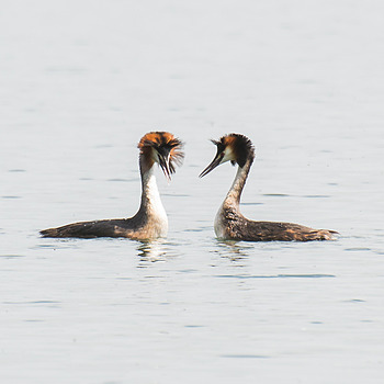 Great Crested Grebe (Perkoz Dwuczuby) | NIKON 70-300MM F/4.5-5.6G IF-ED AF-S VR
