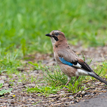 Jay (Sójka) | NIKON 70-300MM F/4.5-5.6G IF-ED AF-S VR <br> Click image for more details, Click <b>X</b> on top right of image to close