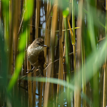 Great Reed Warbler (Trzciniak) | NIKON 70-300MM F/4.5-5.6G IF-ED AF-S VR <br> Click image for more details, Click <b>X</b> on top right of image to close