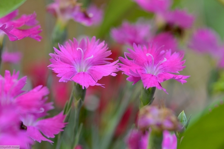 Pinks | NIKON 105MM F/2.8D AF MICRO <br> Click image for more details, Click <b>X</b> on top right of image to close