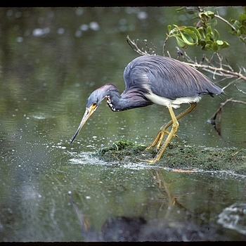 Blue heron 2 | NIKON 300MM F/4.5 H <br> Click image for more details, Click <b>X</b> on top right of image to close