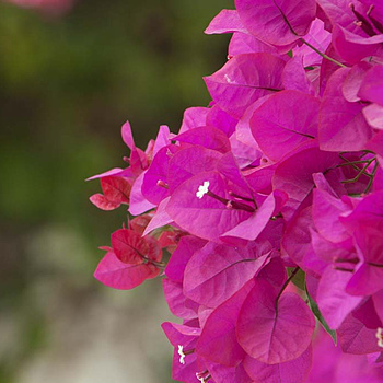 Bougainvillea colors | TAMRON 18-270MM F/3.5-6.3 <br> Click image for more details, Click <b>X</b> on top right of image to close