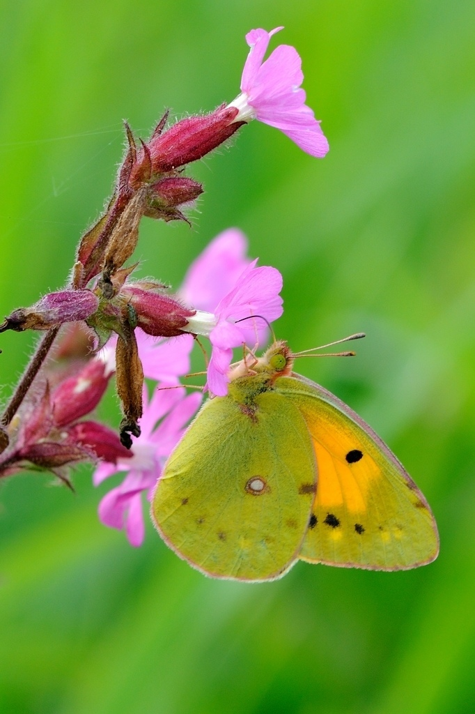 Colias croceus | SIGMA 150MM F/2.8 EX DG APO HSM MACRO <br> Click image for more details, Click <b>X</b> on top right of image to close