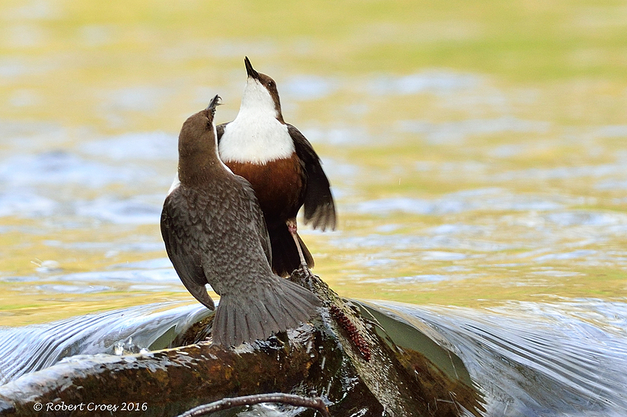 Courtship of white-throated dippers | NIKON 500MM F/4D ED-IF AF-S II <br> Click image for more details, Click <b>X</b> on top right of image to close