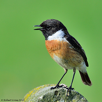 Common stonechat | NIKON 500MM F/4D ED-IF AF-S II <br> Click image for more details, Click <b>X</b> on top right of image to close