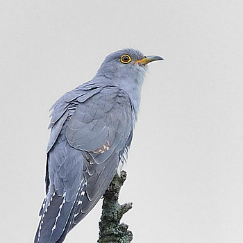 Common cuckoo | NIKON 500MM F/4D ED-IF AF-S II <br> Click image for more details, Click <b>X</b> on top right of image to close