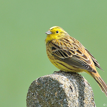 Emberiza citrinella | NIKON 500MM F/4D ED-IF AF-S II <br> Click image for more details, Click <b>X</b> on top right of image to close