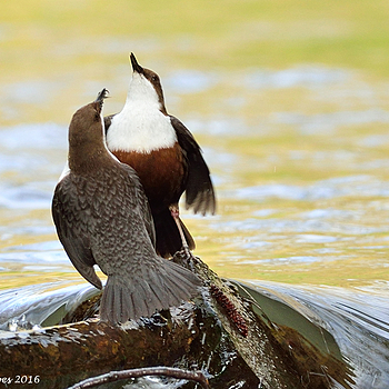 Courtship of white-throated dippers | NIKON 500MM F/4D ED-IF AF-S II