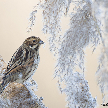 Emberiza schoeniclus | NIKON 500MM F/4D ED-IF AF-S II <br> Click image for more details, Click <b>X</b> on top right of image to close