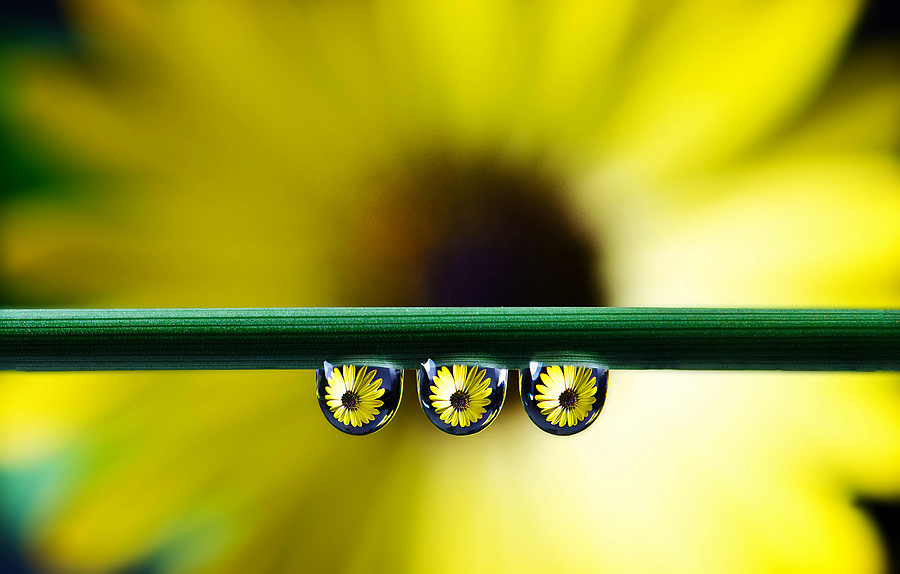 Yellow flower drops... | NIKON 105MM F/2.8G ED-IF AF-S VR MICRO N <br> Click image for more details, Click <b>X</b> on top right of image to close