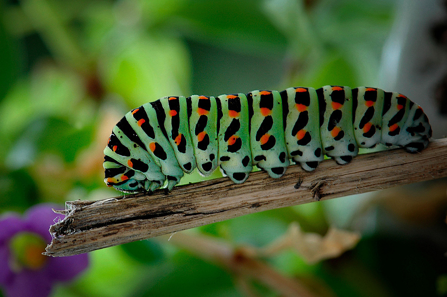 Caterpillar... | NIKON 105MM F/2.8G ED-IF AF-S VR MICRO N <br> Click image for more details, Click <b>X</b> on top right of image to close