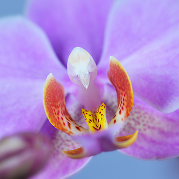 Orchid... | NIKON 105MM F/2.8G ED-IF AF-S VR MICRO N <br> Click image for more details, Click <b>X</b> on top right of image to close