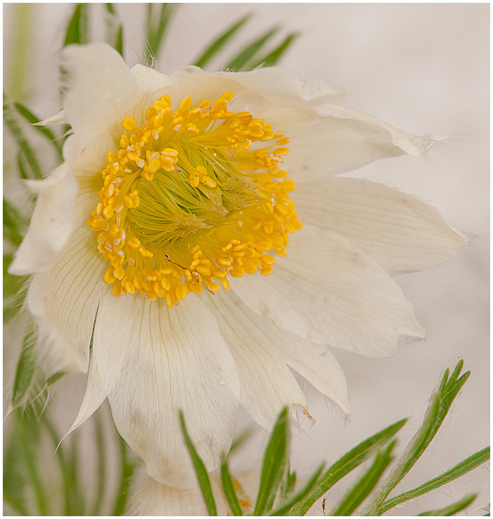 Anemone pulsatilla | NIKON 105MM F/2.8G ED-IF AF-S VR MICRO N <br> Click image for more details, Click <b>X</b> on top right of image to close