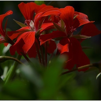 Pelargonium sp. | TAMRON 28-75 F/2.8 <br> Click image for more details, Click <b>X</b> on top right of image to close