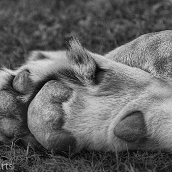 Lion paws | NIKON AF-S 80-400MM VRII <br> Click image for more details, Click <b>X</b> on top right of image to close
