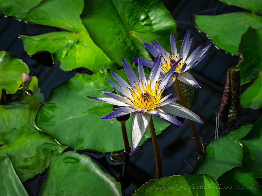 """Blue lotus"" 