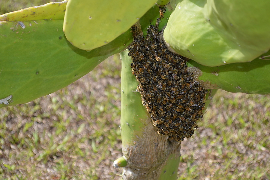 Bee hive growing on Cactus Florida | NIKON 18-55MM F/3.5-5.6G ED AF-S DX <br> Click image for more details, Click <b>X</b> on top right of image to close
