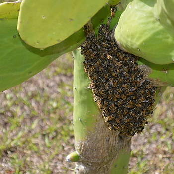 Bee hive growing on Cactus Florida | NIKON 18-55MM F/3.5-5.6G ED AF-S DX