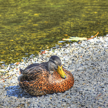 Plump Duck | NIKON 24-70MM F/2.8G ED AF-S N <br> Click image for more details, Click <b>X</b> on top right of image to close