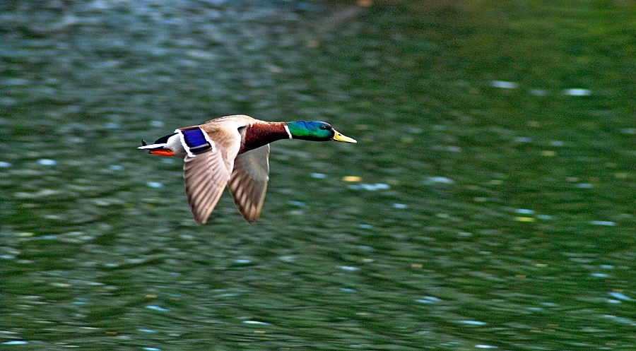 Flying  colours | TAMRON 70-200MM F/2.8 <br> Click image for more details, Click <b>X</b> on top right of image to close