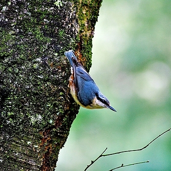 Nuthatch | LENS MODEL NOT SET <br> Click image for more details, Click <b>X</b> on top right of image to close