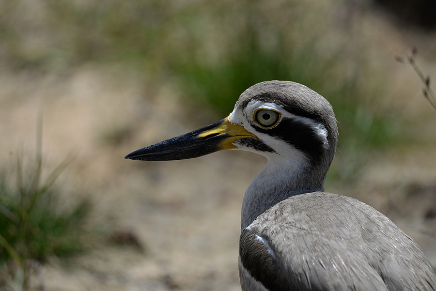 Portrait of Thick Knee | LENS MODEL NOT SET <br> Click image for more details, Click <b>X</b> on top right of image to close